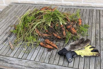 Harvest of Nantaise carrots from an organic vegetable garden  France