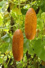 Sikkim cucumber (Cucumis sativus var. sikkimensis)