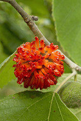 Paper mulberry (Broussonetia papyrifera)