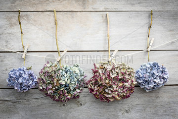 Dried Hydrangea Flowers attach to a rope on a wooden background