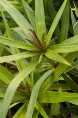 Chinese palm sedge (Carex phyllocephala)