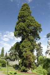 Giant Sequoia (Sequoiadendron giganteum) at Blois  France