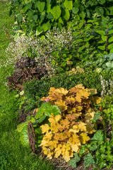 Coralbell 'Caramel' and saxifrage in bloom in a city garden