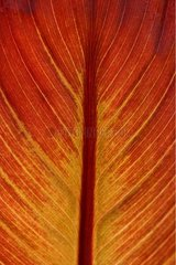 Leaf of Ornamental Banana Dinan Côtes-d'Armor France