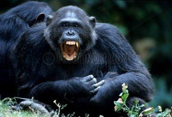 Eastern common chimpanzee Gombe NP Tanzania