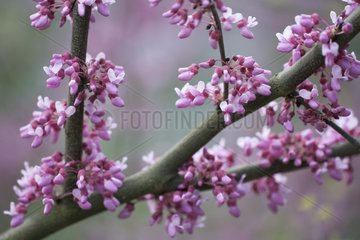Eastern redbud in blossom Germany