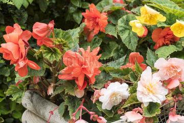 Begonia flowers in a wooden bin on a garden terrace  summer  Pas de Calais  France