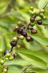 Buckthorn bully (Sideroxylon lycioides)