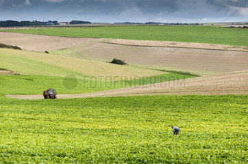 Farmer in his beet field  Summer  Pas de Calais  France