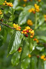 Rhamnella (Rhamnella franguloides)