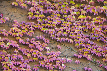 Virginia creeper (Parthenocissus sp) on the wall of a house  autumn  Lorraine  France