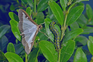 Box Tree Moth (Cydalima perspectalis)  moth and caterpillar on common boxwood (Buxus sempervirens). Invasive species from Asia. Sept 2018. Garden at the edge of the Orb. Herault  France