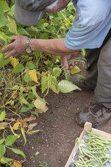 Man picking French beans 'Allegria'