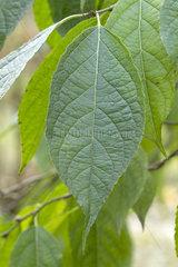 Gutta-Percha-Tree (Eucommia ulmoides)