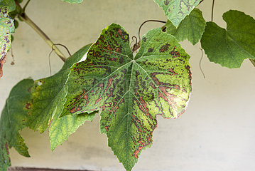 Rust on grape leaf  summer  Alsace  France