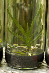 Angraecum in vitro culture