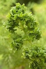 Sweet-scented Geranium (Pelargonium graveolens) 'Crispum'