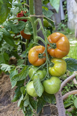 Maestria F1 tomatoes in a kitchen garden  summer  Moselle  France