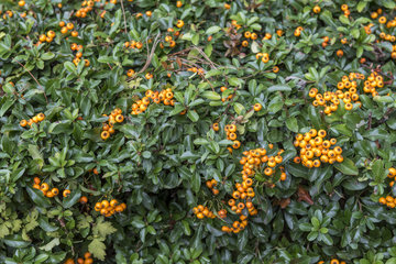 Firethorn (Pyracantha sp) in fruit in a garden  autumn  Germany
