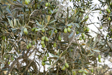 Olive in fruit  summer  Provence  France