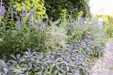 Mixed-border composed of sage  mint and echinacea  summer  Moselle  France