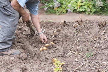 Harvest of potatoes in the kitchen garden  summer  Moselle  France