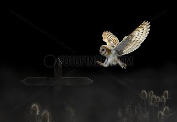 Barn Owl landing on a cross at night - Spain