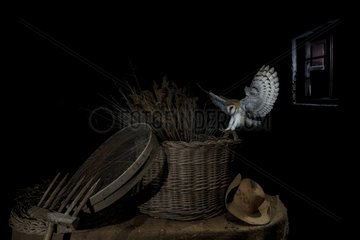 Barn Owl landing on a basket at night - Spain