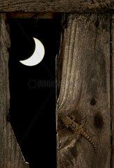 Moorish Wall Gecko on wood in the moonlight - Spain
