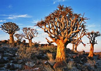 Quiver trees at twilight Namibia