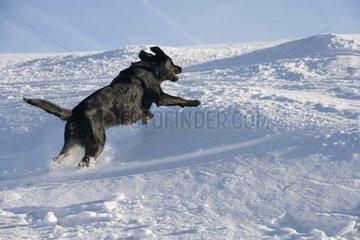 Black dog running in snow France