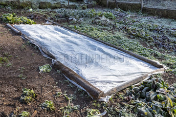 Lamb's lettuce protected by a veil in winter  Moselle  France