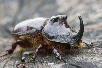 European rhinoceros beetle on dead wood Bulgaria