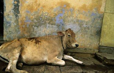 Holy cow lying in the streets of Vârânaçî India