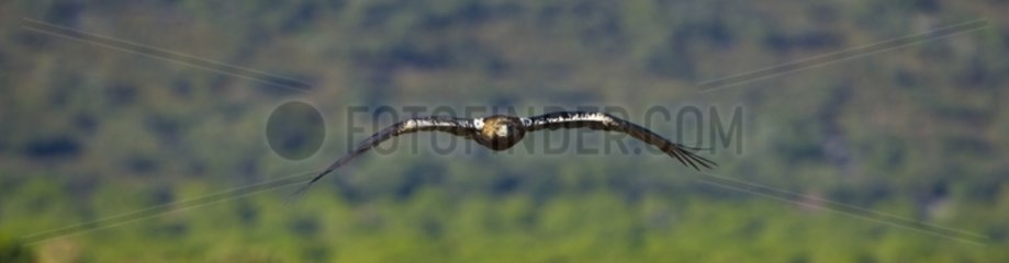 Spanish Imperial Eagle flying
