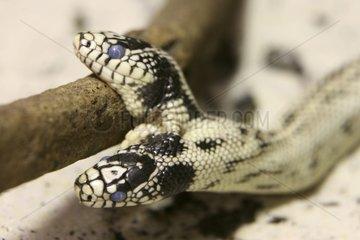Two-headed blue eyed Snake Fribourg Switzerland