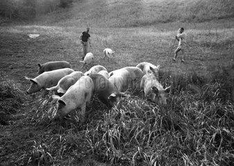 Elevage traditionnel de Porcs en montagne Alpes françaises