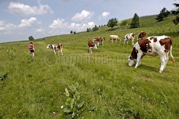 Vache de race Montbeliarde paturant dans des Gentianes