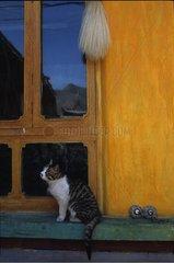 Chat de gouttière devant une fenêtre Tibet