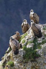 Groupe de Vautour fauve posé Gorges du Tarn France