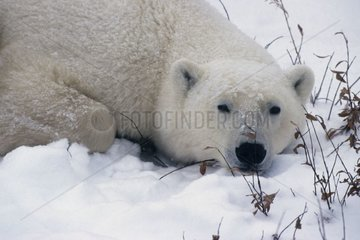 Polar bear lying State of Manitoba Canada