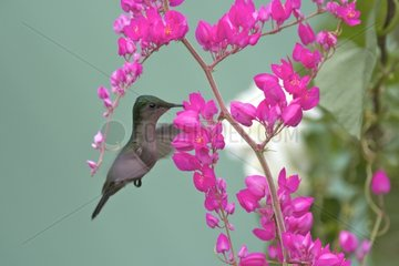 Antillean Crested Hummingbird flying near a flower St Lucia