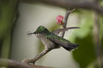 Antillean Crested Hummingbird on a branch St Lucia