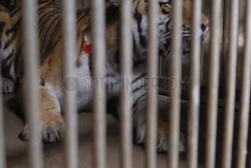 Tiger and anti-inflammatory syringe from a gun