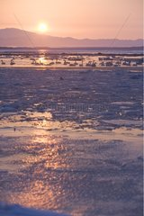 Whooper Swans on a frozen lake at sunrise Japan