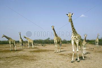 Nigearian Giraffes in savanna Niger