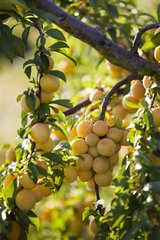 Plum tree 'Sunkiss' in fruit in a garden
