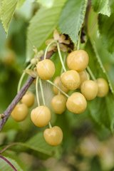 Bigaroon cherry tree 'Trompe-geai' in fruit in a garden
