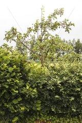 Fruit tree hedge -Conservatoire végétal régional d'Aquitaine