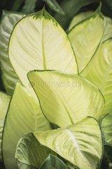 Dieffenbachia 'Tropic Marianne' in a garden